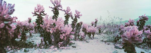 "Karin Bubaš, ""Cholla Cactus Garden in Pink,"" 2017"