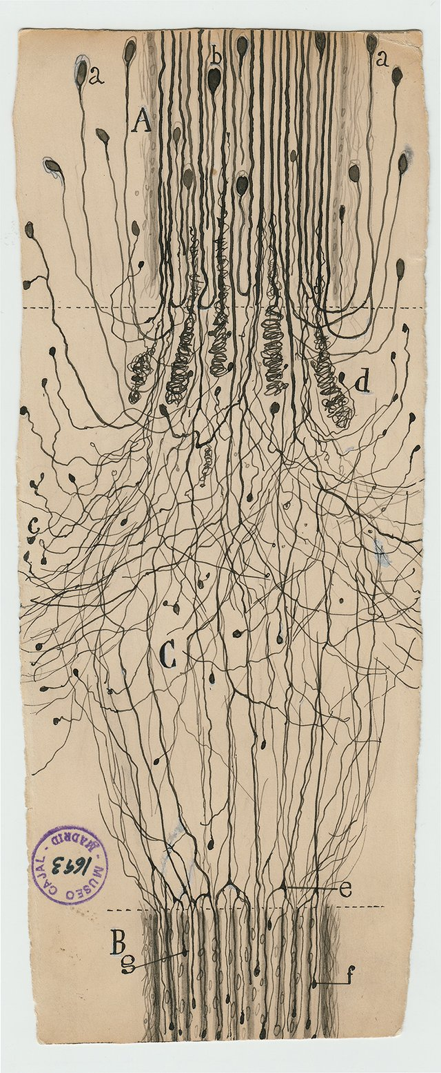 "Santiago Ramón y Cajal, ""a cut nerve outside the spinal cord,"" 1913"