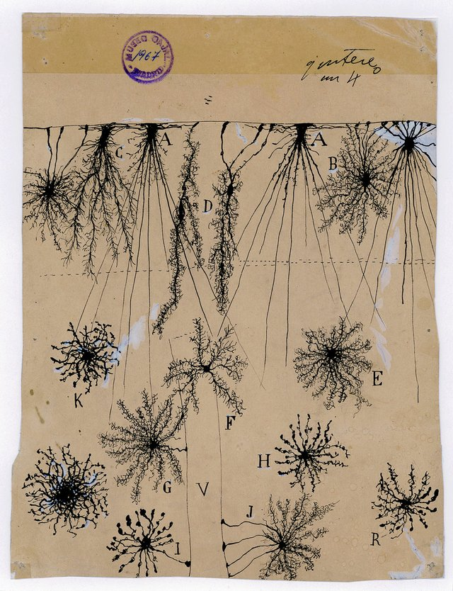"Santiago Ramón y Cajal, ""glial cells of the cerebral cortex of a child, 1904"