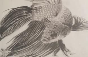 """Taylor Bootsma, """"Fighting Fish,"""" nd"""