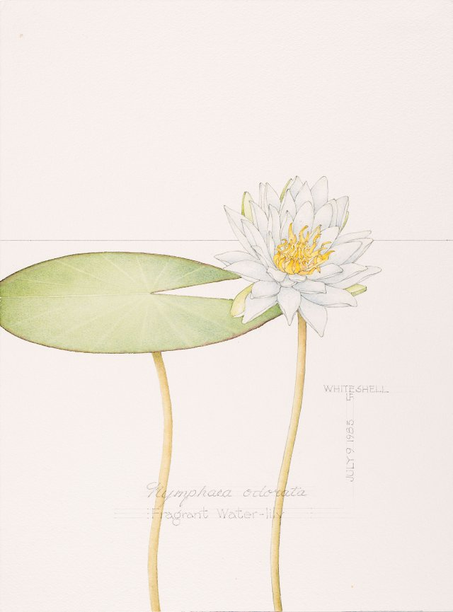 "Linda Fairfield Stechesen, ""Fragrant Water Lily,"" nd"