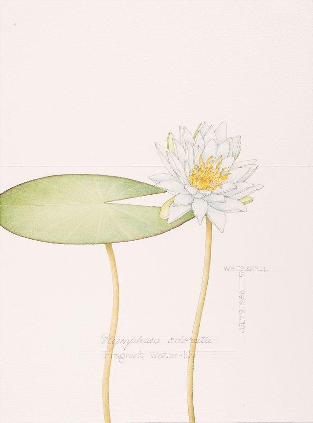 "Linda Fairfield Stechesen, ""Fragrant Water Lily,"" nd"