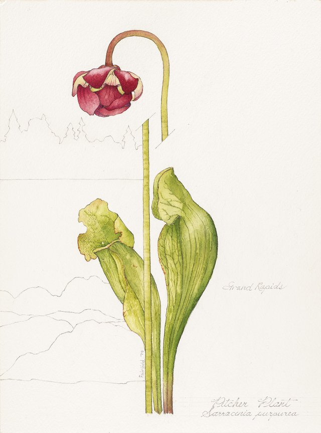 Linda Fairfield Stechesen, botanical drawings (pitcher plant), 1977-2007