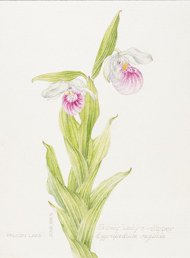 Linda Fairfield Stechesen, botanical drawings (showy lady's slipper), 1977-2007