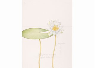 Linda Fairfield Stechesen, botanical drawings (fragrant water lily), 1977-2007