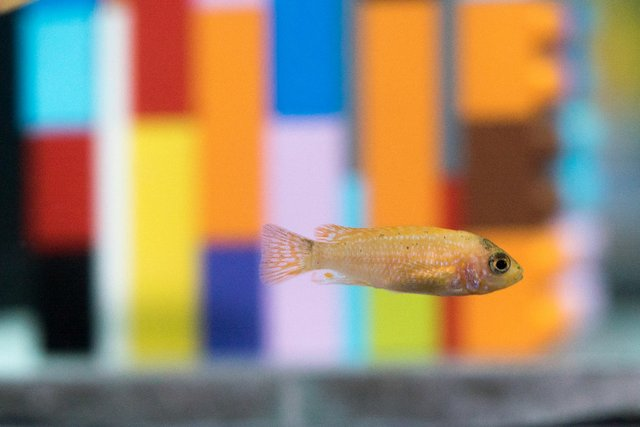 "A fish swims past Douglas Coupland's Lego installation, part of his exhibition, ""Vortex,"" at the Vancouver Aquarium. (Photo courtesy of Ocean Wise)"