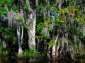 "Philip Jessup, Bay Tree Stand, Mandalay Wildlife Refuge, Louisiana,"" 2018"