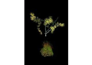 """Julya Hajnoczky, """"Larix laricina,"""" 2019"""