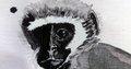 """Gunnhilder Hauksdóttir, """"Vervet Monkey (detail),"""" 2019"""