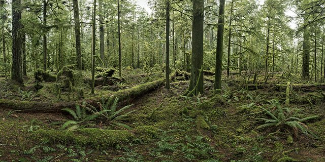 "Edward Burtynsky, ""Cathedral Grove #1,"" 2017"