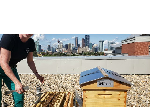 A beekeeper on the rooftop of the Atlantic Avenue Art Block, which houses Calgary's Esker Foundation. (photo courtesy of Alvéole)