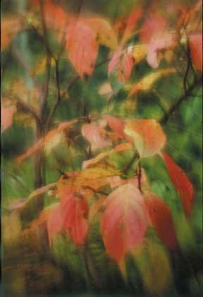 """Red Osier Dogwood"""