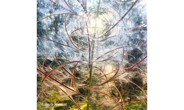 Fireweed (photo by Mark Mushet)