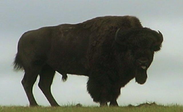 """Kent Tate, """"Buffalo"""""""