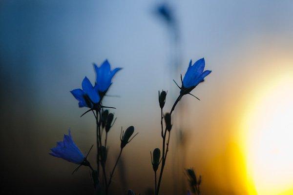 """Joel Koop """"Sunward Harebells"""""""