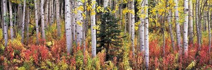 """Autumn Fireweeds and Aspens"""