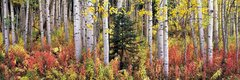 """Autumn Fireweeds and Aspens"""