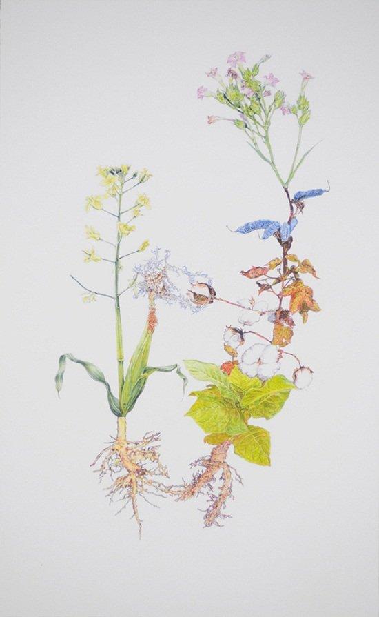 "Jennifer Wanner, ""Florigeium: Brassica rapa, Glycine max, Gossypium hirsutum, Nicotiana tabacum, Zea mays"", 2009"