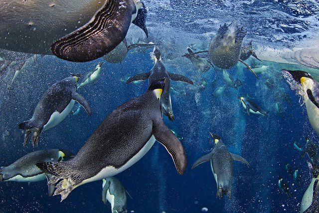 "Paul Nicklen "" Bubble-jetting emperors"""