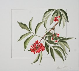 "Elaine Funnell ""Sambucus Canadensis, Red Elderberry"""