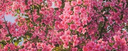 "Martha Cole, ""Flowering Ornamental Crabapple Tree,"" nd"